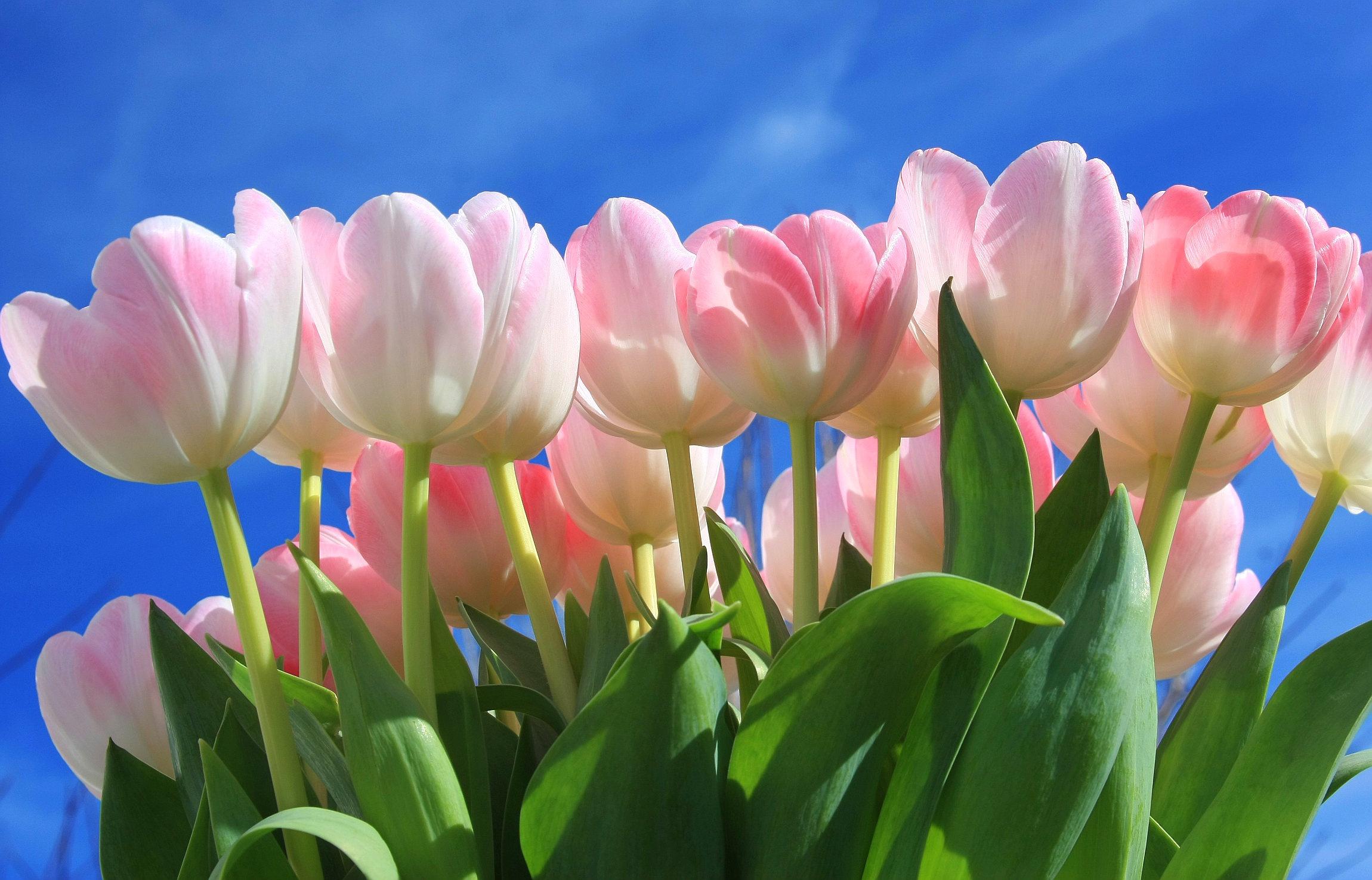 бродом грязью, нежные и красивые фото тюльпанов воображение перепуганных пассажиров