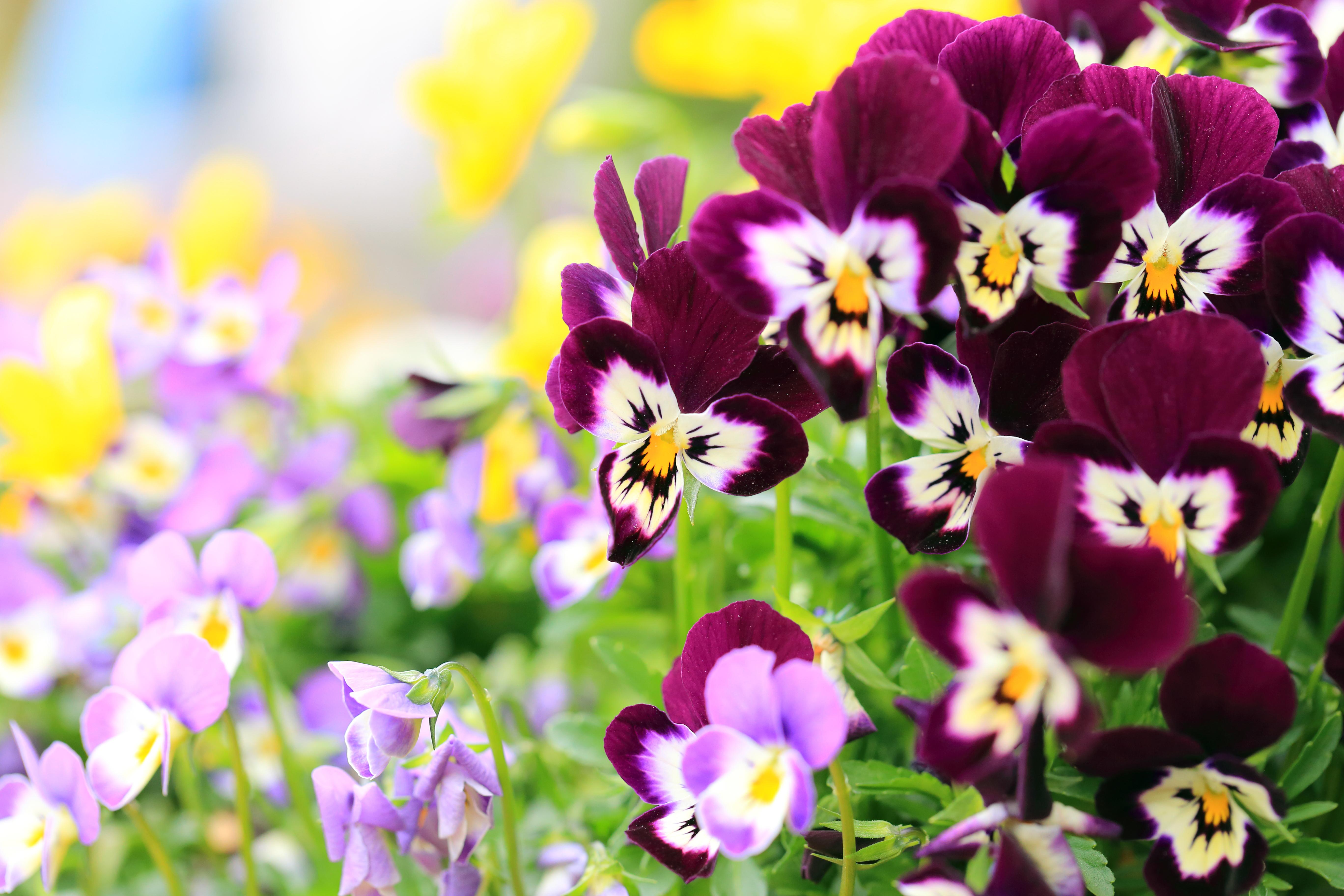 качественные картинки с цветами обрати внимание вербену